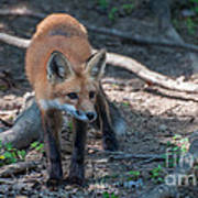 Wary Fox Print by Bianca Nadeau