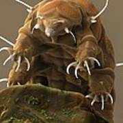 Water Bear Or Tardigrade Print by Science Photo Library