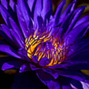 Water Lily 7 Print by Julie Palencia