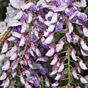 Weeping Wisteria - Spring Snow - Ice - Lavender - Flora Print by Andee Design
