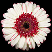 White And Red Gerbera Daisy Print by Adam Romanowicz