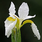 White Iris Print by Juergen Roth