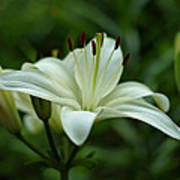 White Lily Print by Sandy Keeton