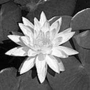 White Lotus 2 Print by Ellen Henneke