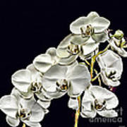 White Orchids Print by Tom Prendergast