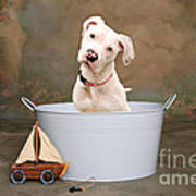 White Pitbull Puppy Portrait Print by James BO  Insogna