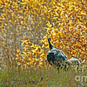 Wild Turkeys And Fall Colors Print by Robert Bales