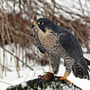 Winter Hunt Peregrine Falcon In The Snow Print by Inspired Nature Photography Fine Art Photography
