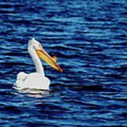 Wisconsin Pelican Print by Thomas Young