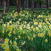 Woodland Daffodils Print by Bill Wakeley