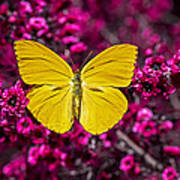 Yellow Butterfly Print by Garry Gay