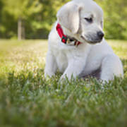Yellow Lab Puppy In The Grass Print by Diane Diederich