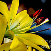 Yellow Lily Anthers Print by Robert Bales