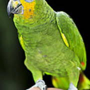 Yellow-shouldered Amazon Parrot Print by Elena Elisseeva
