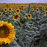 Yellow Sunflower Field Print by Dave Dilli