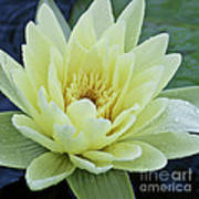 Yellow Water Lily Nymphaea Print by Heiko Koehrer-Wagner