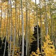 Young Aspens Print by Eric Glaser