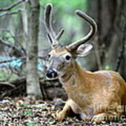 Young Buck At Rest Print by Paul Ward