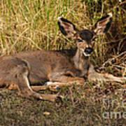 Young Mule Deer Print by Robert Bales