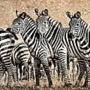 Zebra Herd Rock Texture Blend Print by Mike Gaudaur