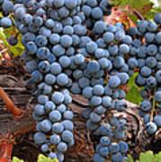 Zinfandel Wine Grapes Print by Charlette Miller