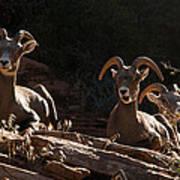 Zion National Park Mountain Sheep Checkerboard Mesa Utah Print by Robert Ford