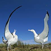 Antipodean Albatross Diomedea Print by Tui De Roy