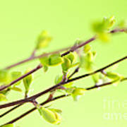 Branches With Green Spring Leaves Print by Elena Elisseeva