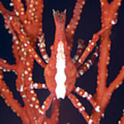 Bright Red Crab On Fan Coral, Papua New Print by Steve Jones