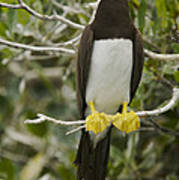 Brown Booby, Sula Leucogaster Print by Tim Laman