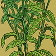 Centaurea Montana, Bachelors Button Print by Science Source
