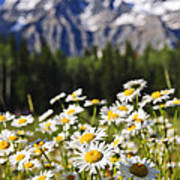 Daisies At Mount Robson Provincial Park Print by Elena Elisseeva