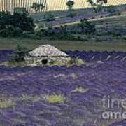 Field Of Lavender. Sault Print by Bernard Jaubert