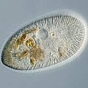 Frontonia Protozoan, Light Micrograph Print by Frank Fox