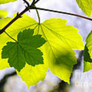 Green Leaves Print by Carlos Caetano