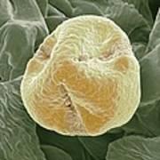 Kiwi Fruit Pollen Grain, Sem Print by Steve Gschmeissner