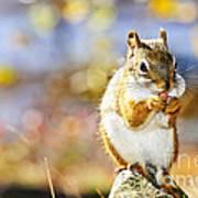 Red Squirrel Print by Elena Elisseeva