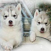 Siberian Husky Puppies Print by Jean Gugliuzza