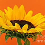 Sunflower Closeup Print by Elena Elisseeva