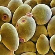 Yeast Cells, Sem Print by Thomas Deerinck, Ncmir
