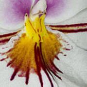 Exotic Orchid Flowers Of C Ribet Print by C Ribet