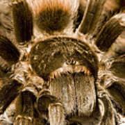 A Tarantula Living In Mangrove Forest Print by Tim Laman