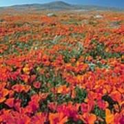 Californian Poppies (eschscholzia) Print by Bob Gibbons