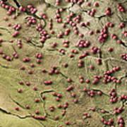 Fungal Spores, Sem Print by Steve Gschmeissner