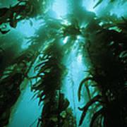 Giant Kelp Print by Georgette Douwma
