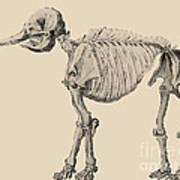 Mastodon Skeleton Print by Science Source