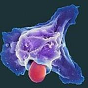Neutrophil Engulfing Thrush Fungus, Sem Print by