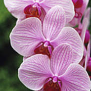 Orchid Flowers Print by Duncan Smith