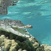 Saltwater Crocodile Crocodylus Porosus Print by Mike Parry