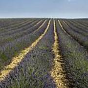 Field Of Lavender. Provence Print by Bernard Jaubert